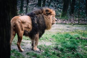 Löwe im Zoo von Arnheim