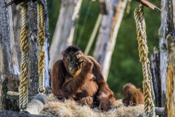 Ein Orang Utan mit Babies im Apenheul Zoo.