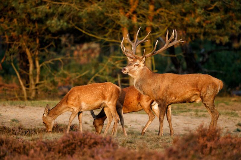 Rentiere im Nationalpark Hoge Veluwe