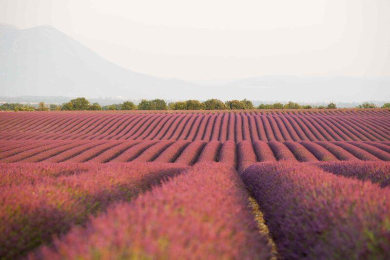 Lavendelfeld der französischen Provence im Verdon