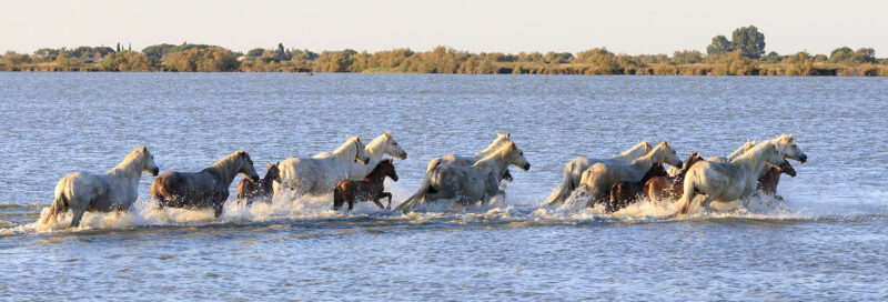 Pferde in der Camargue in Südfrankreich in der Nähe vom Campingplatz