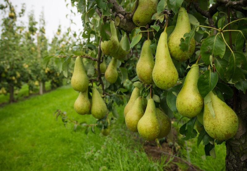 Birnen auf einer Obstplantage in Gelderland